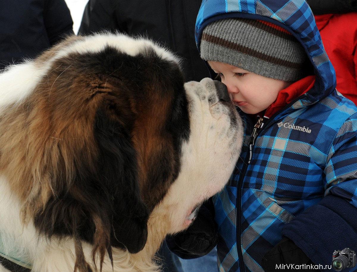 Сенбернар с ребенком