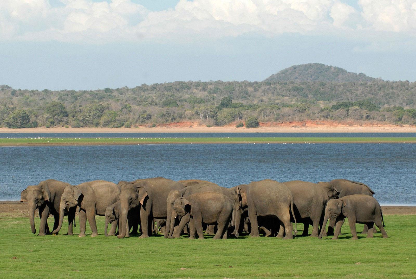 Стадо диких слонов