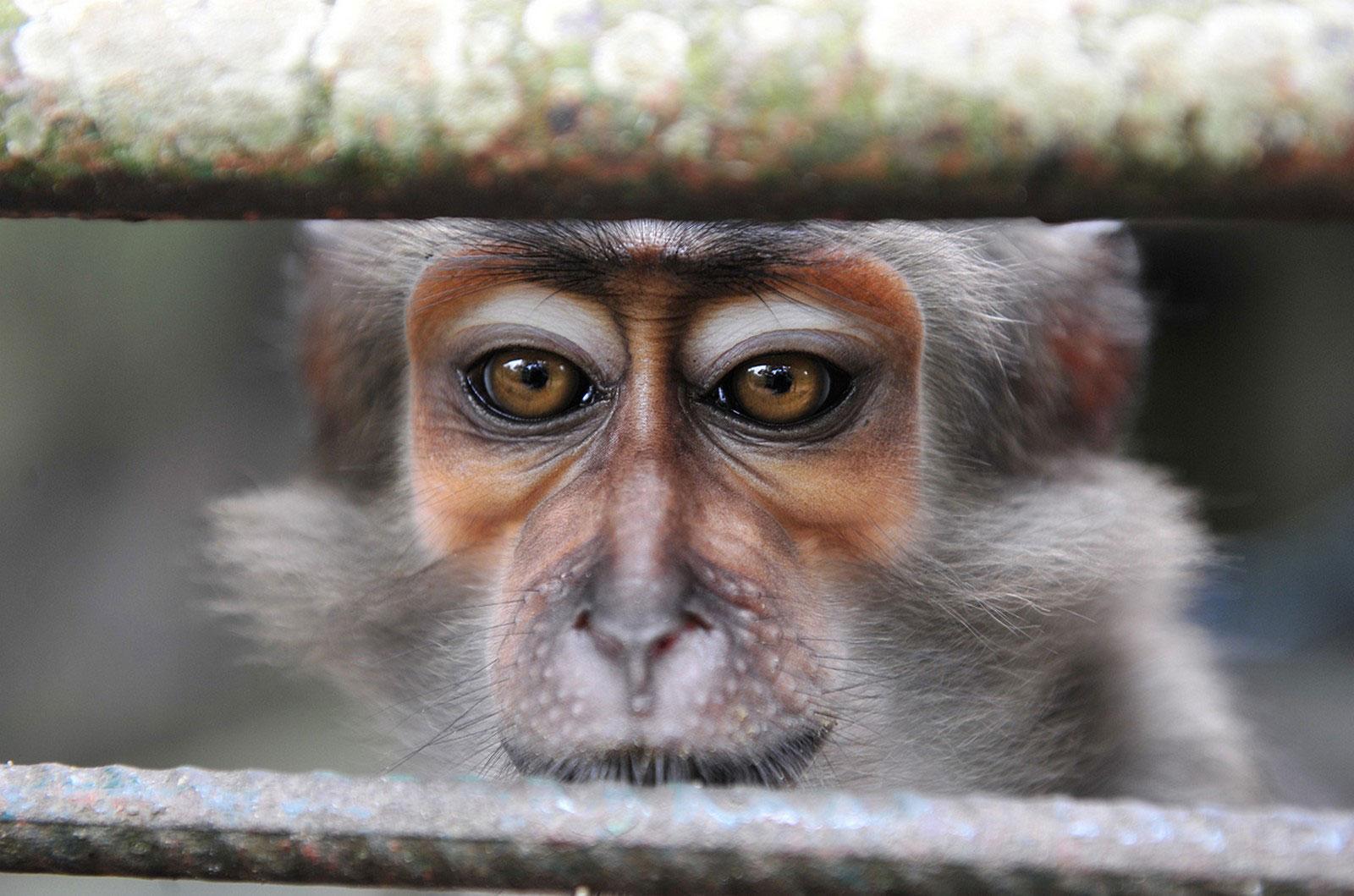 макака в Кот-д'Ивуаре