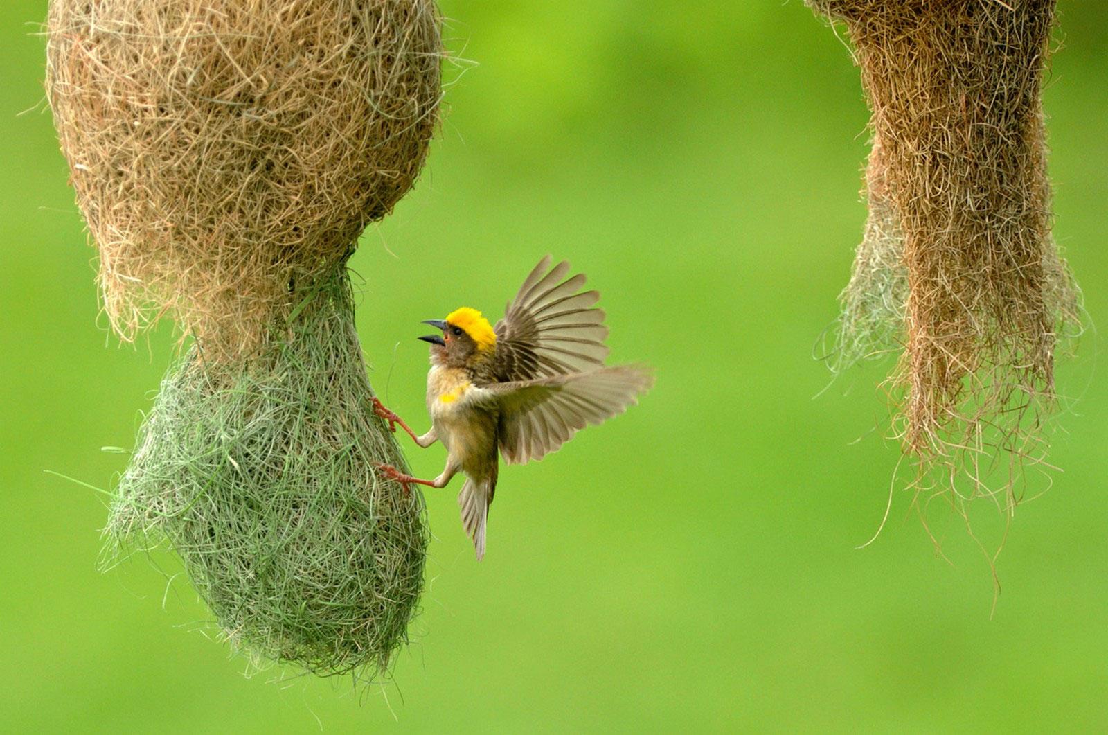 ткач вьет гнездо