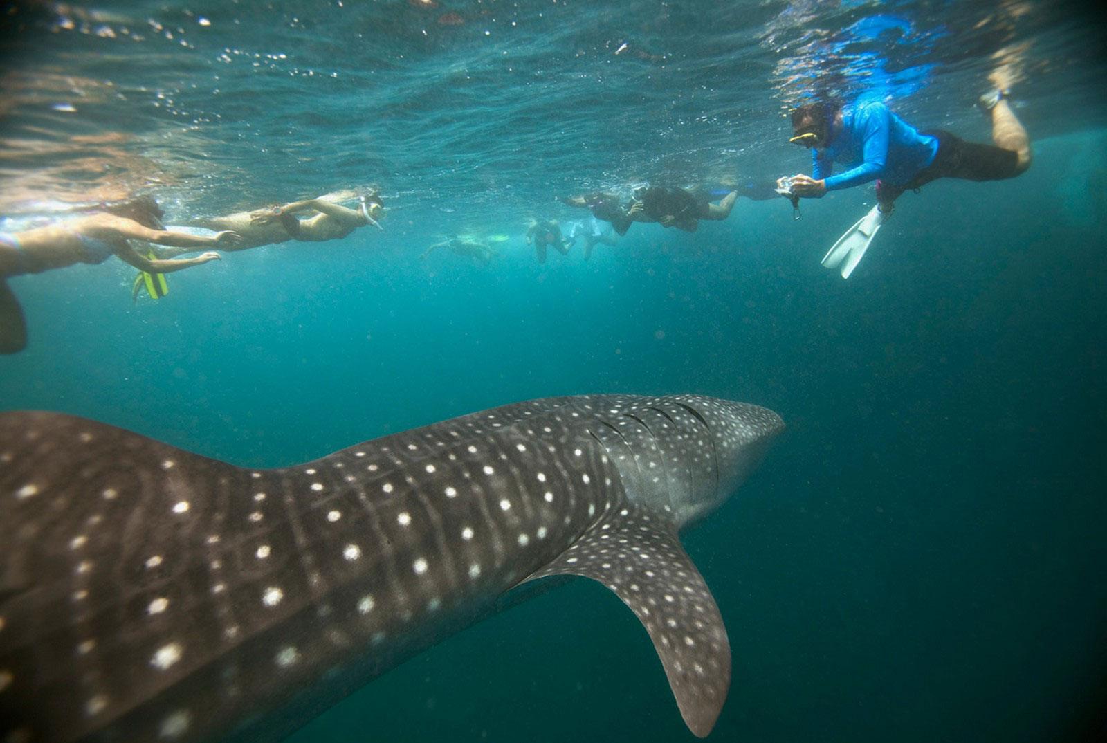аквалангисты и китовая акула