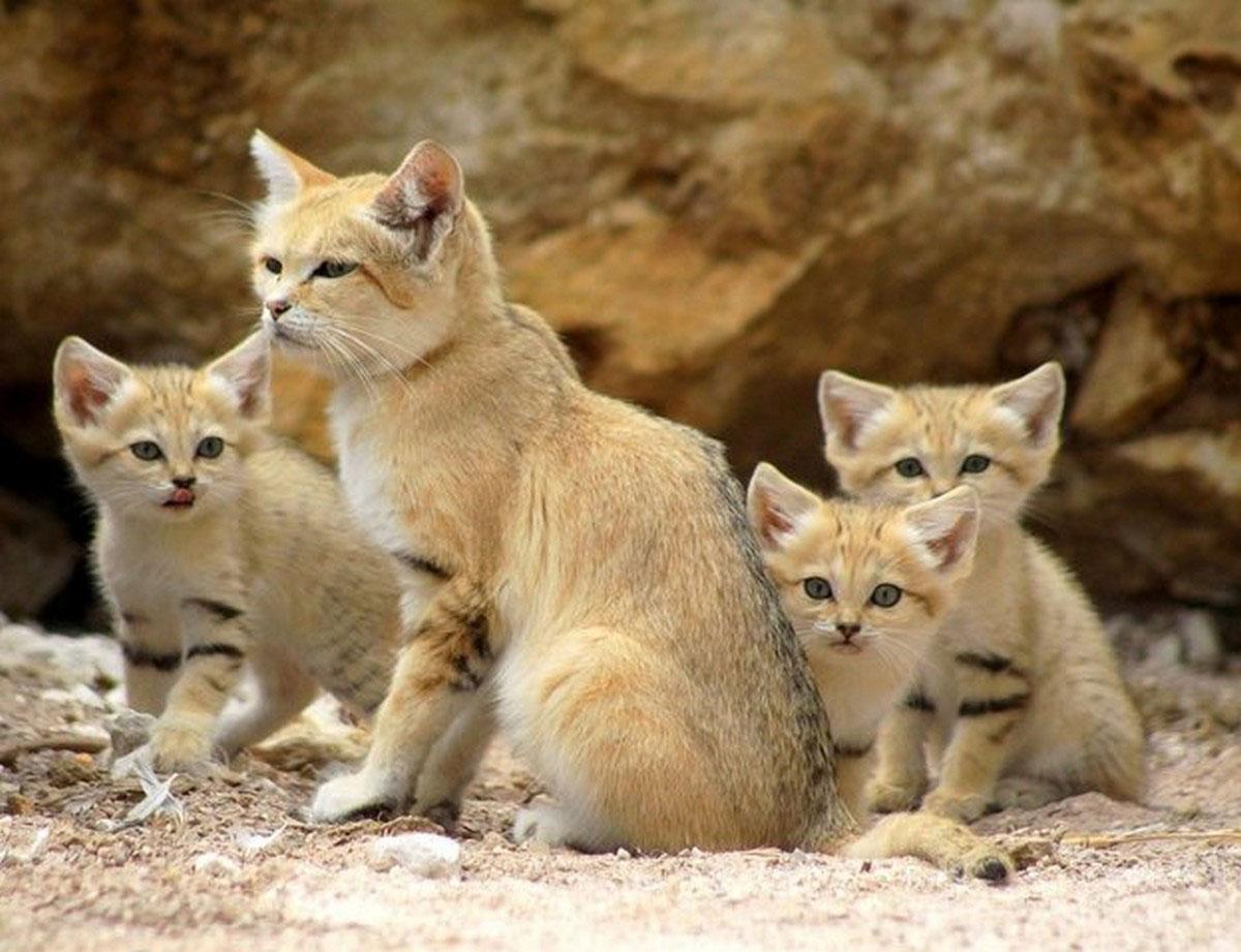 Песочная кошка с котятами