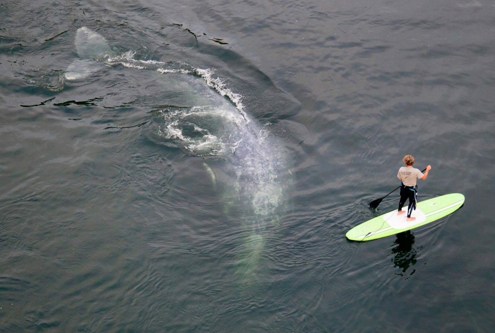 Серфингист и серый кит