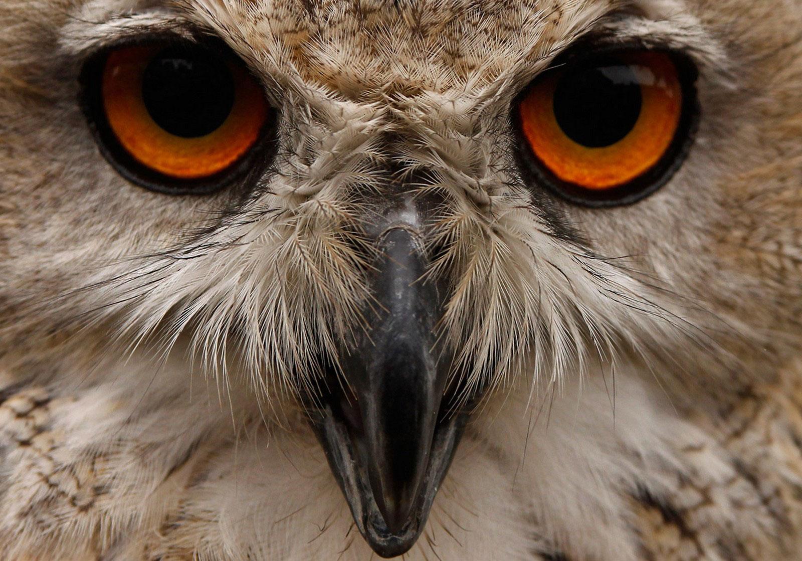 снимок совы белоснежной