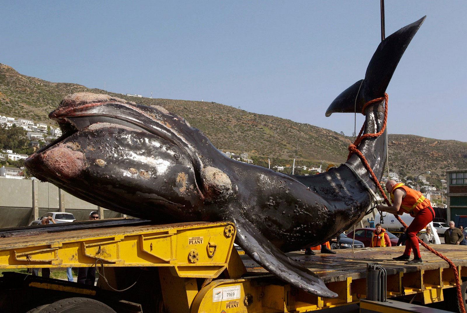 молодой южный кит
