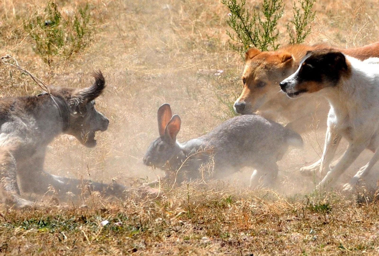 Охотничьи собаки загнали зайца