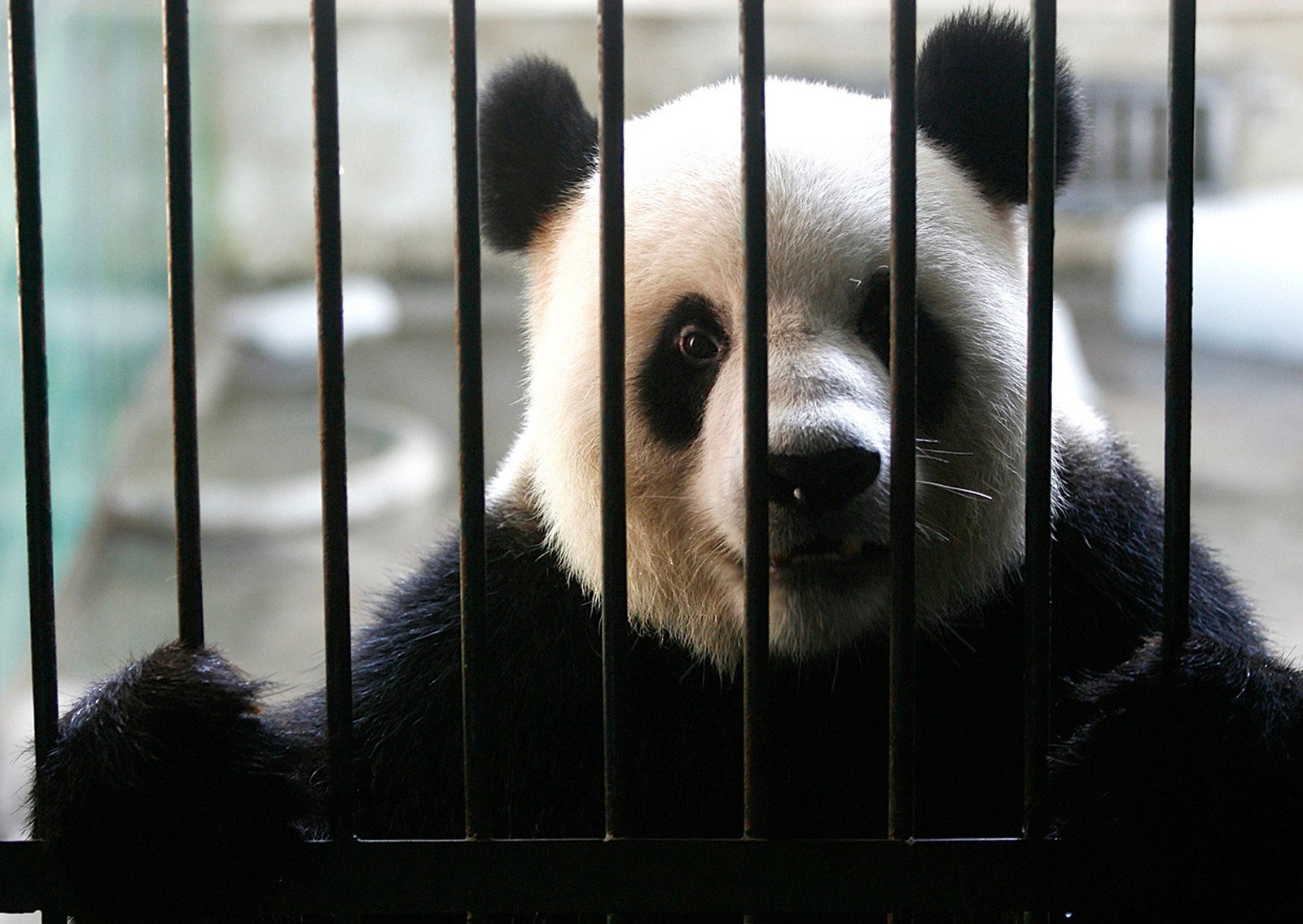самец панды