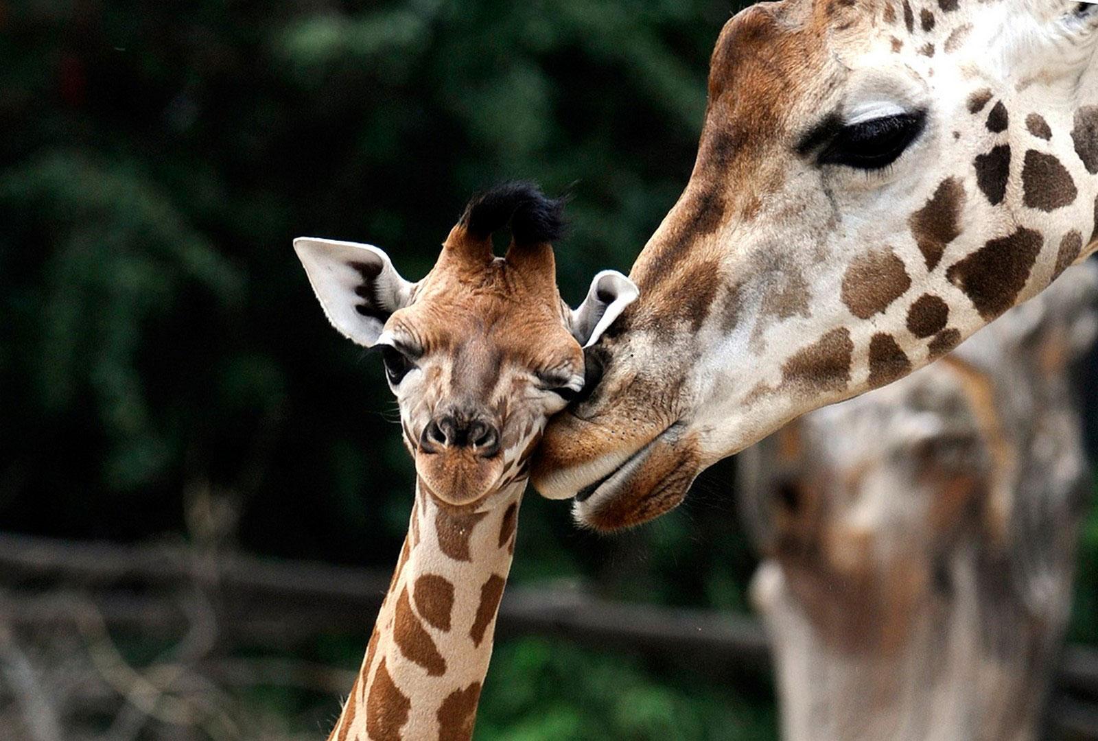 Жирафы Ротшильда, фотография