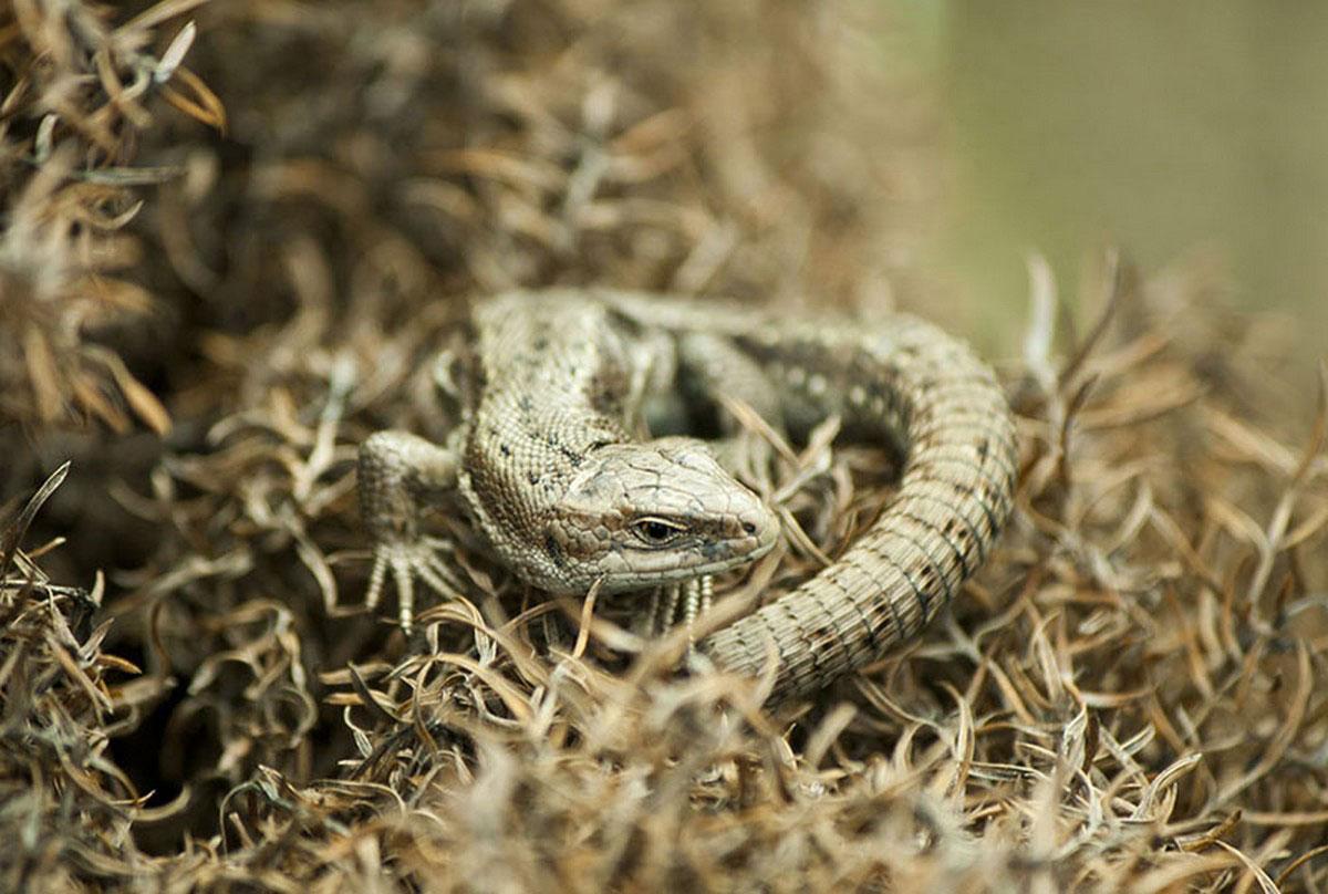ящерица в траве