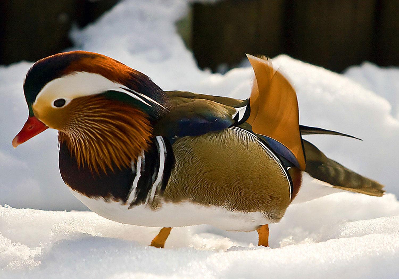 птица мандаринка