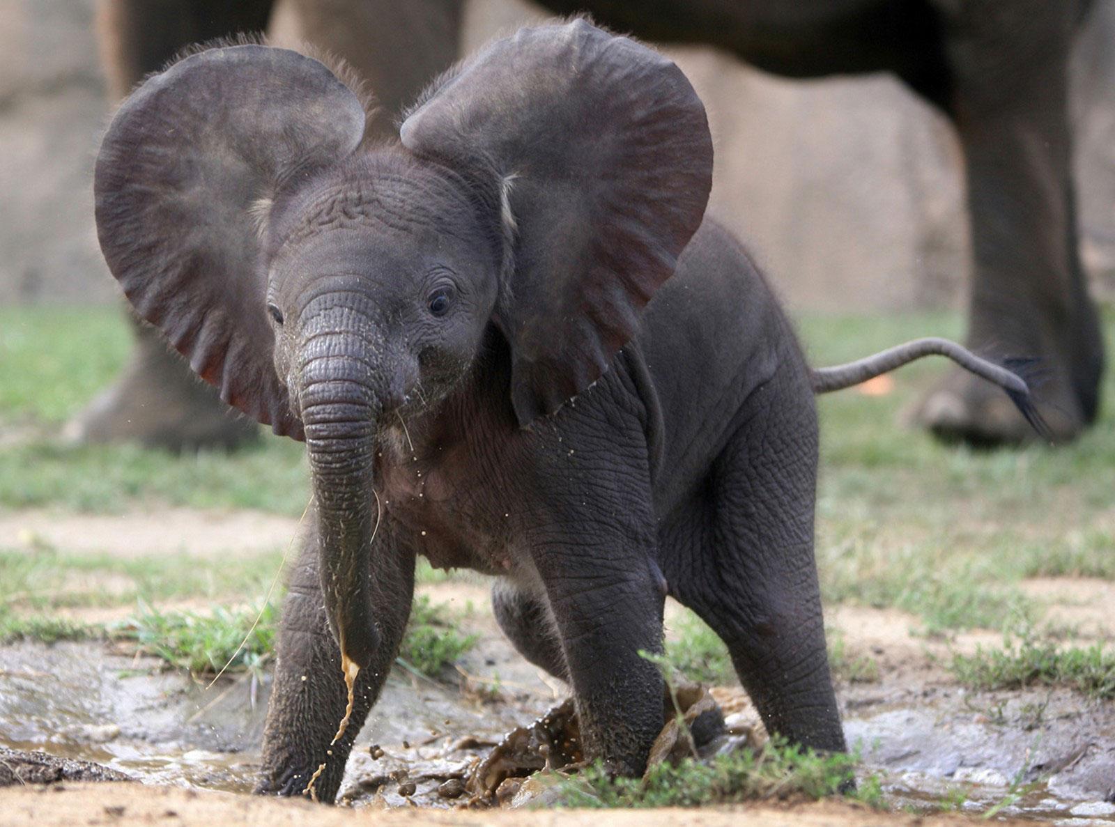 слоненок в Индианаполисе