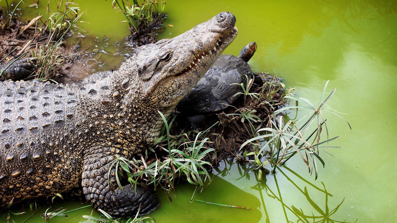 крокодил и черепаха