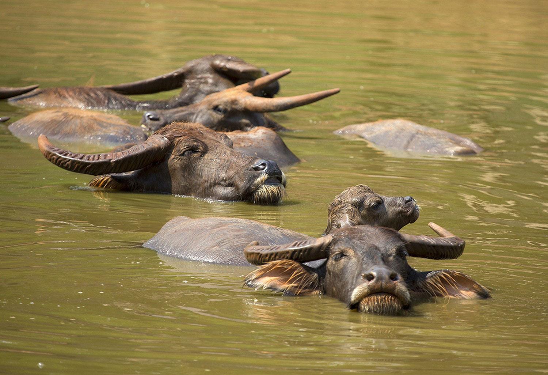 буйволы в водоеме