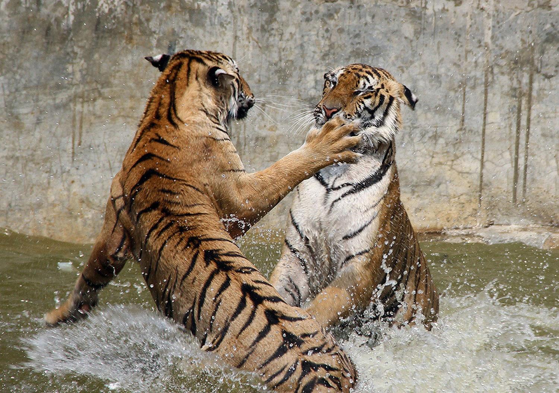 разборки тигров
