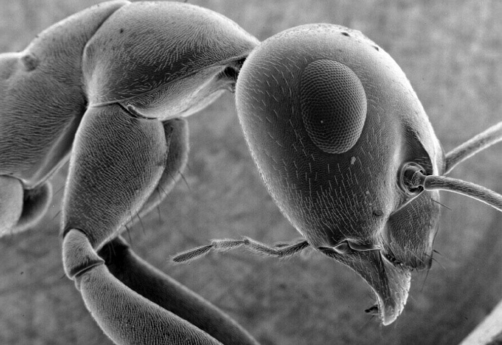 муравей под микроскопом, фото