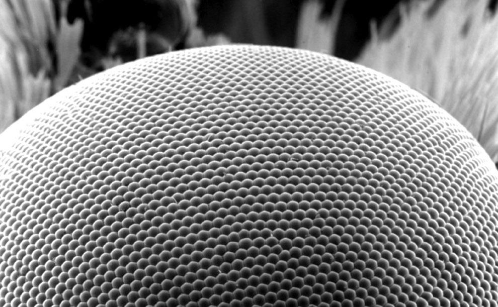 большая восковая моль под микроскопом, фото