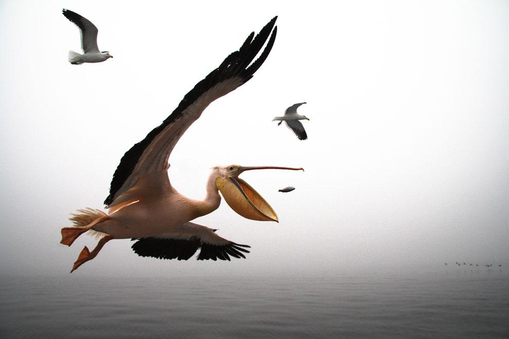 пеликан, фото