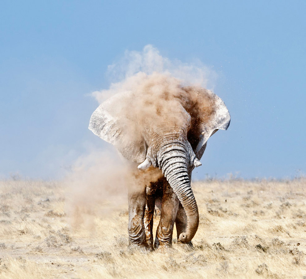 слон в Южной Африке, фото