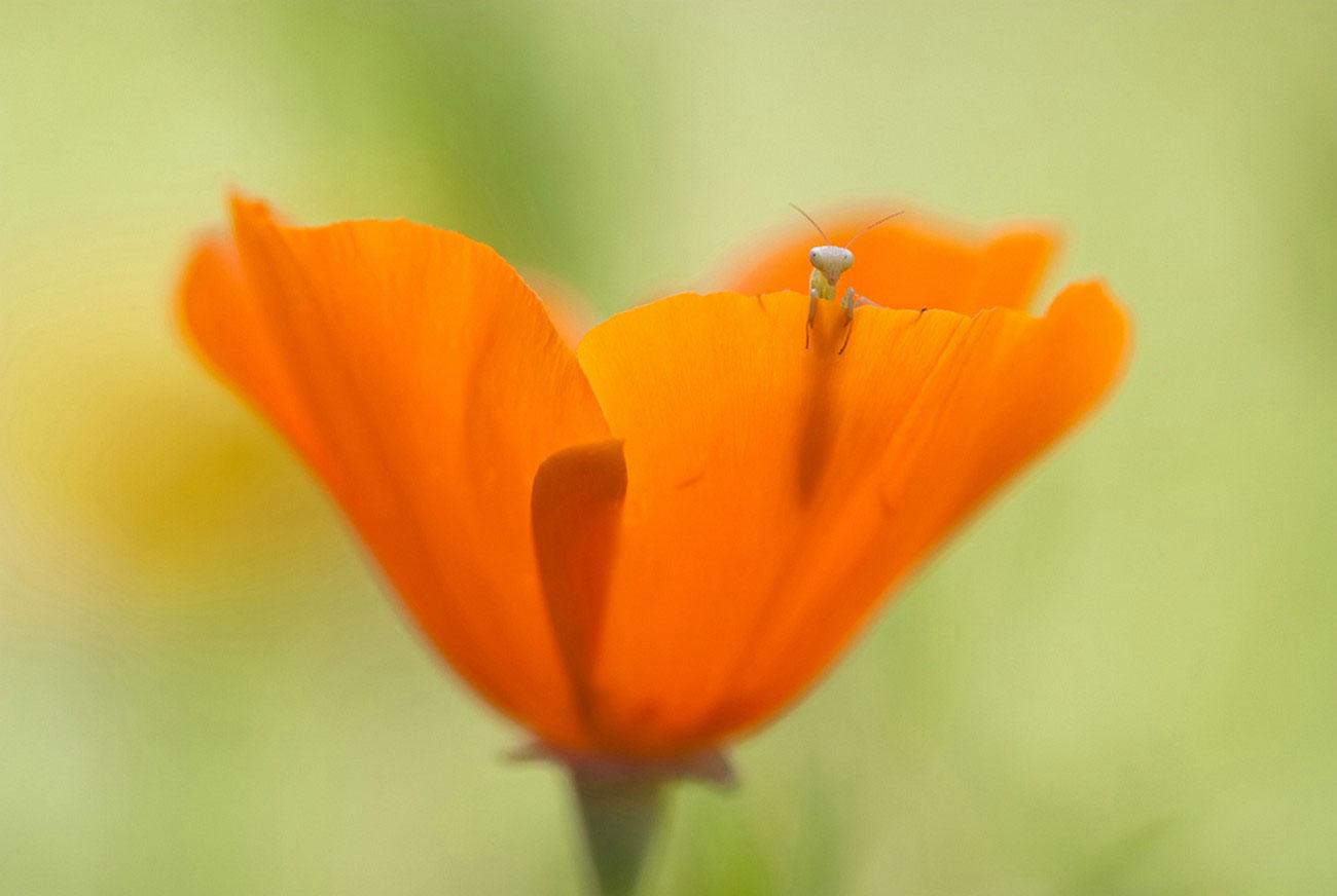 личинка богомола, фото