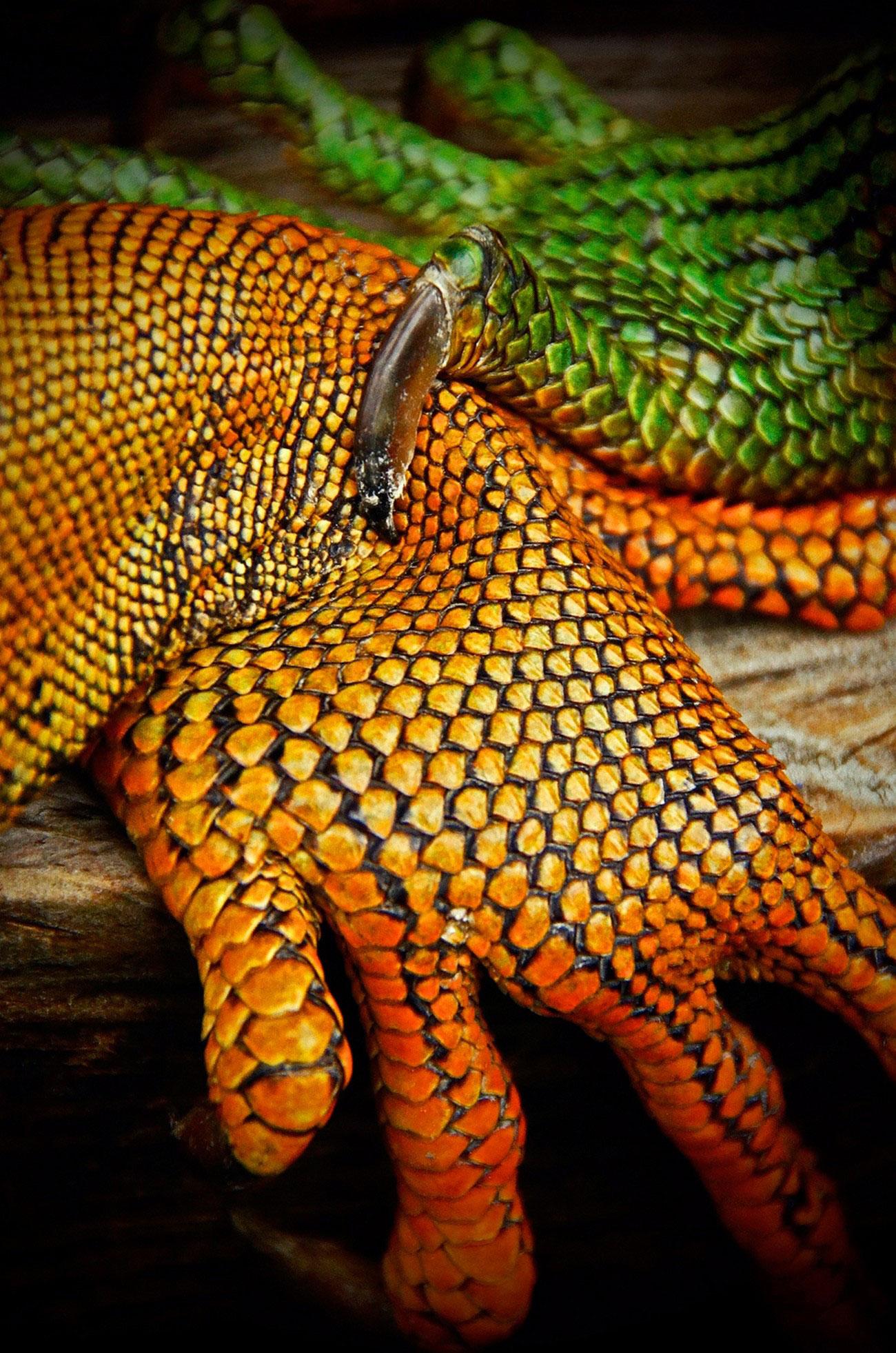 зеленые игуаны, фото