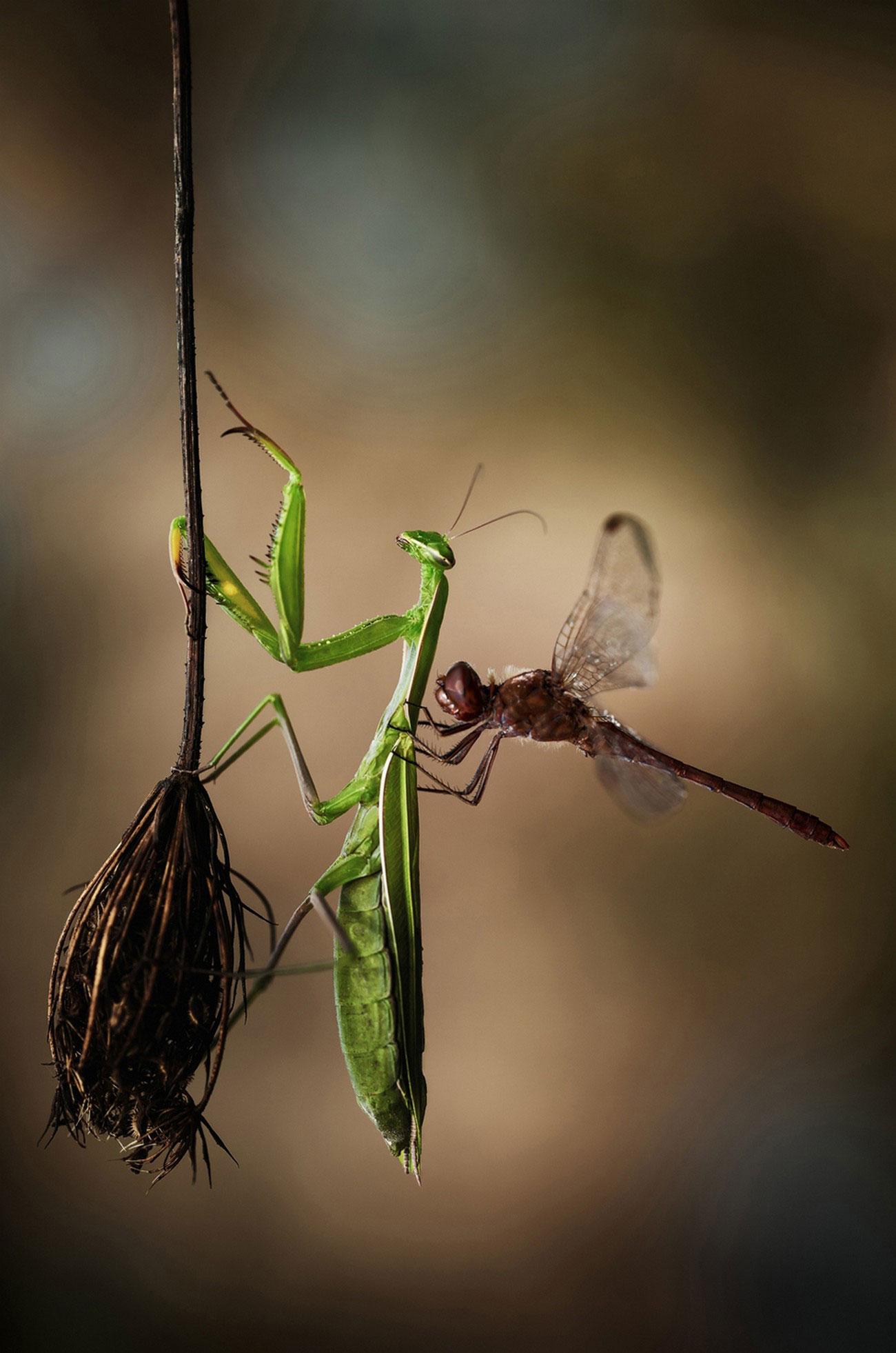 богомол и стрекоза, фото National Geographic