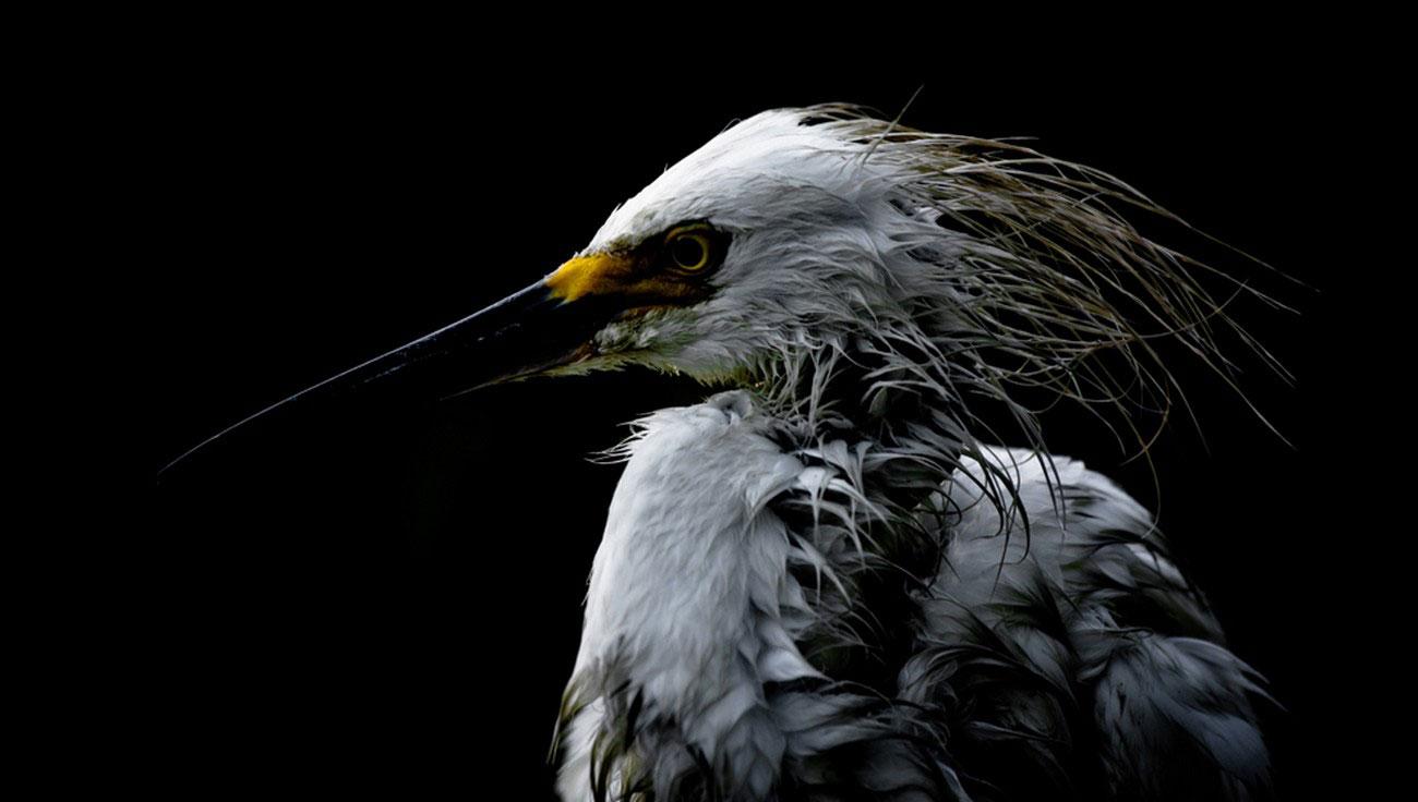 белая цапля, фото National Geographic
