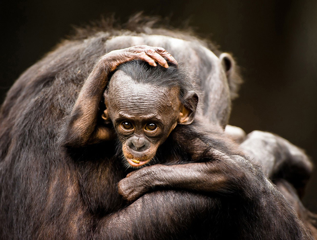 карликовый шимпанзе, фотография