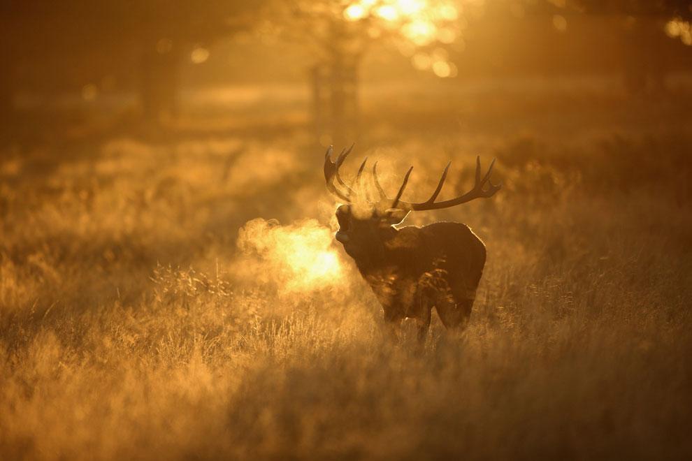 олень осенью, фото
