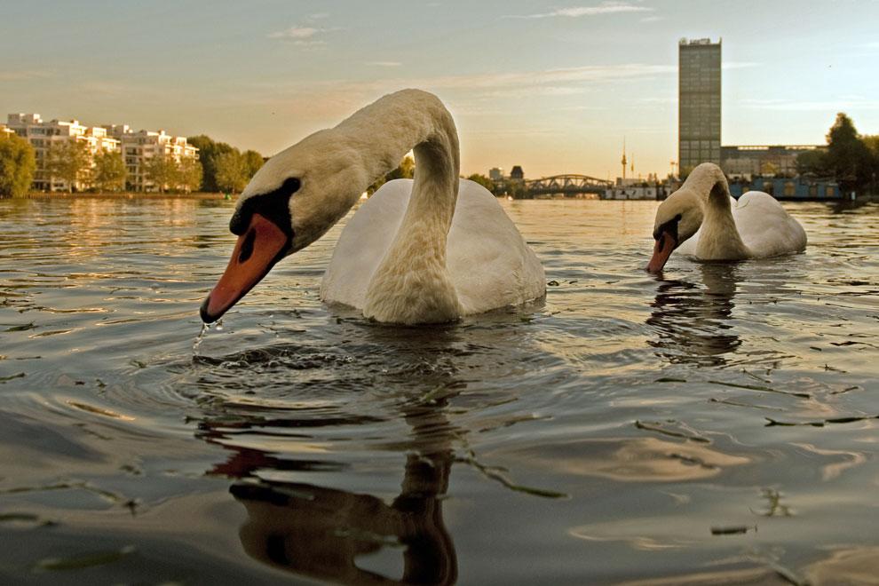 лебеди на реке, фото