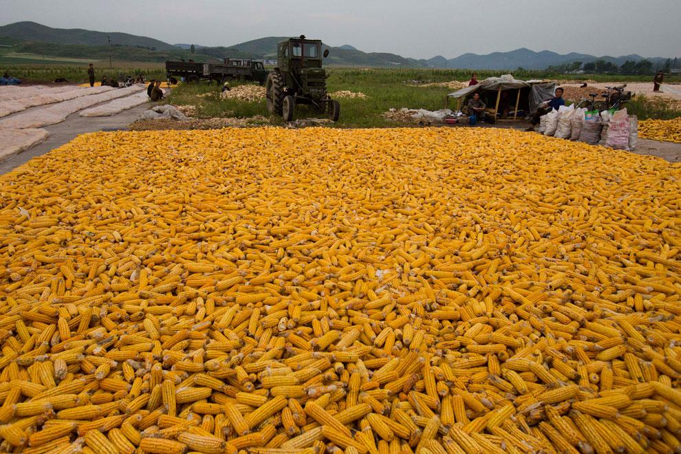 сбор кукурузы осенью