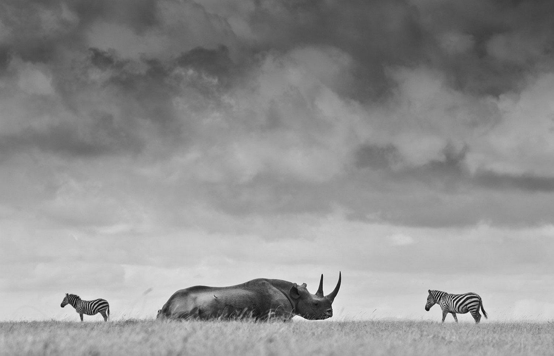 носорог и зебры