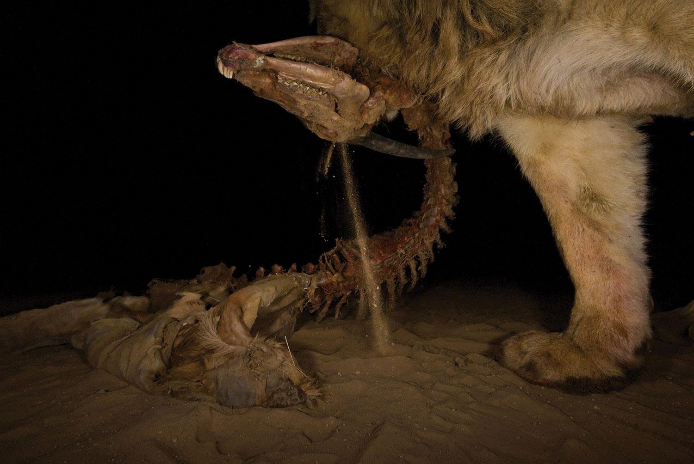 Лев нашел труп антилопы