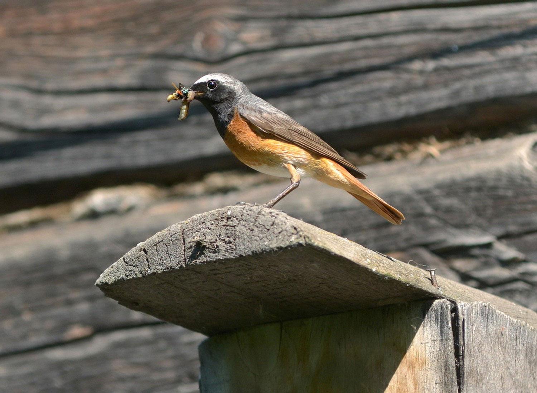 Мухоловка птица