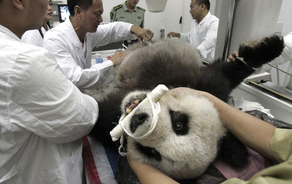 панда на медицинском осмотре, Китай фото