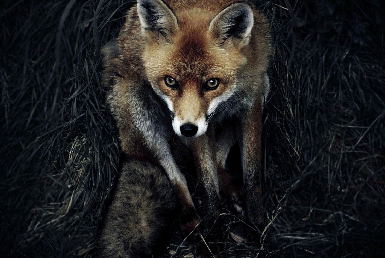 лиса, фото Нешенел Географик