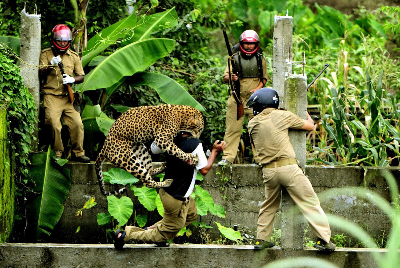 леопард набросился на человека