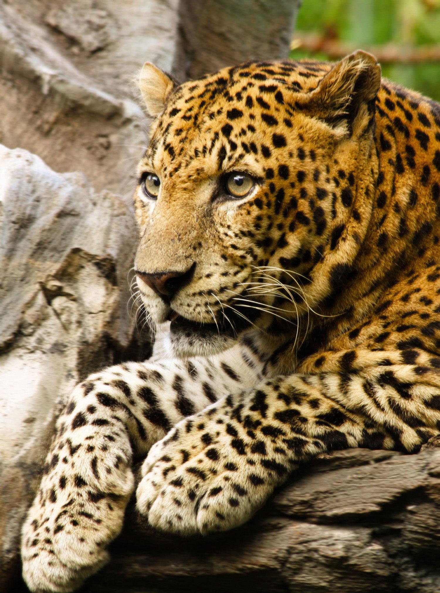 леопард, фото Нешенел Географик