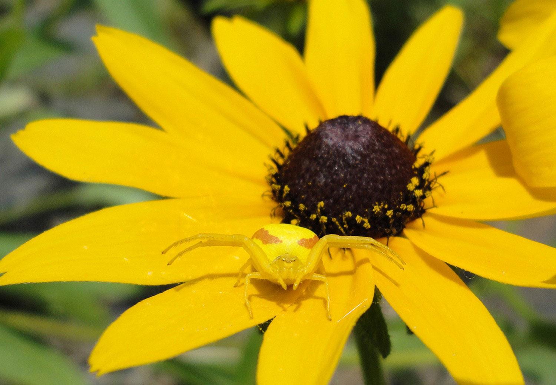 фото желтого паука
