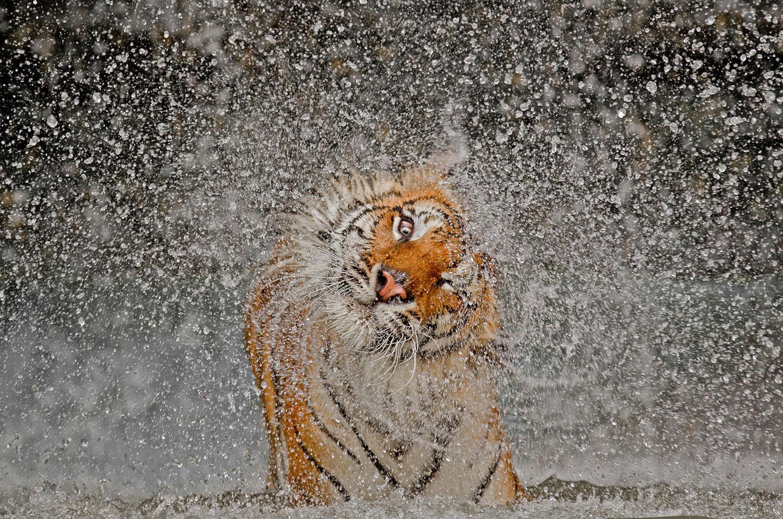 Индокитайский тигр, фото Нешенел Географик