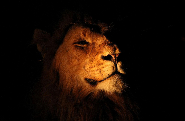 лев в Южной Африке