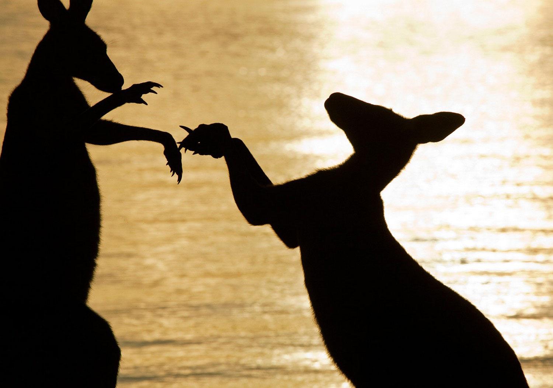 кенгуру, фото Нешенел Географик
