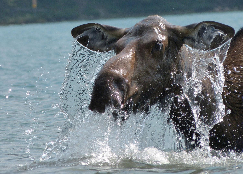 лось в водоеме, фото
