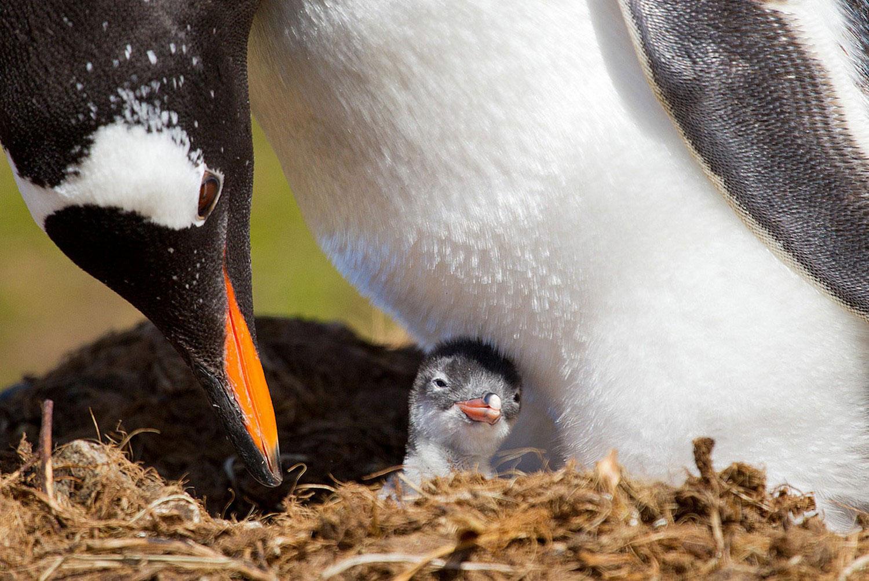 Папуанский пингвин на фотографии