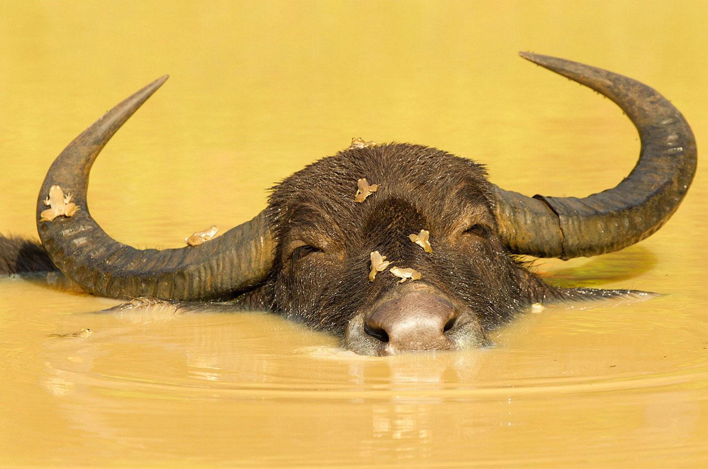 буйвол в водоеме, фото