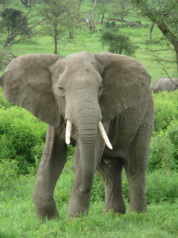 Африканские слоны, Фотоконкурс