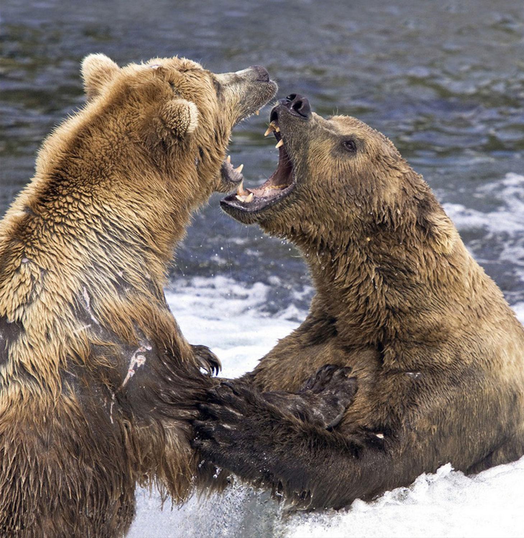 бурые медведи, Фотоконкурс