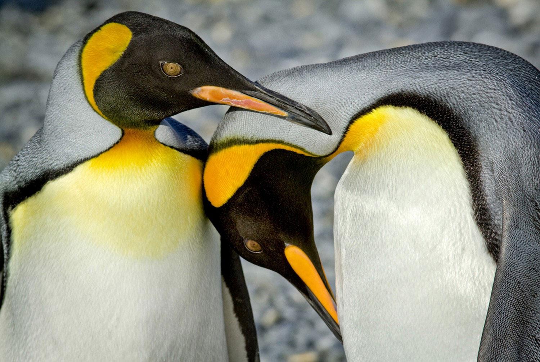 Королевские пингвины, Фотоконкурс