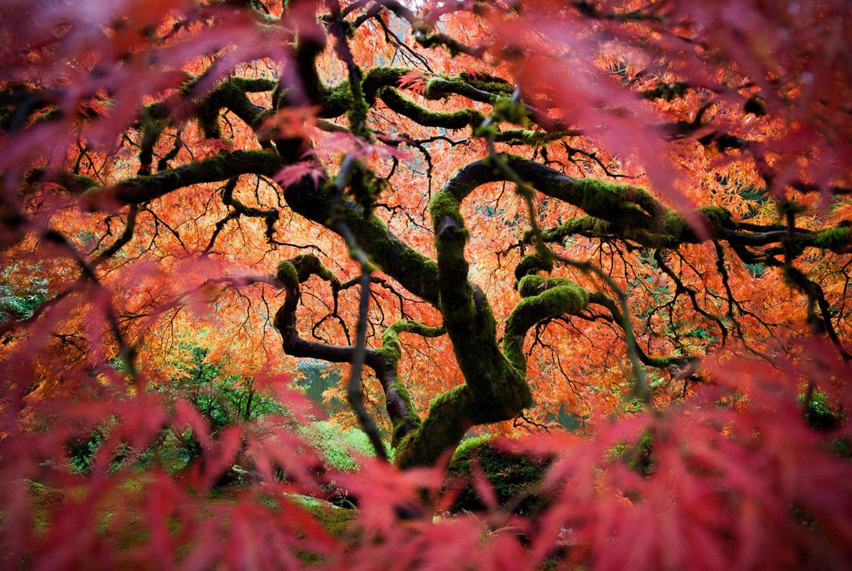 Японский клен, Фотоконкурс