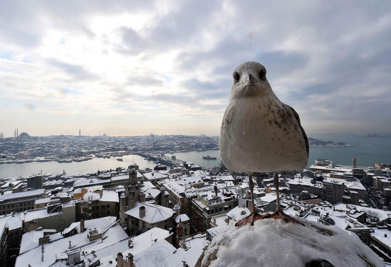 Чайка на Галатской башне, Фотоконкурс