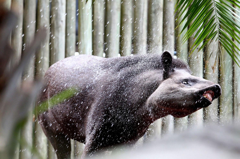 бразильский тапир, фото
